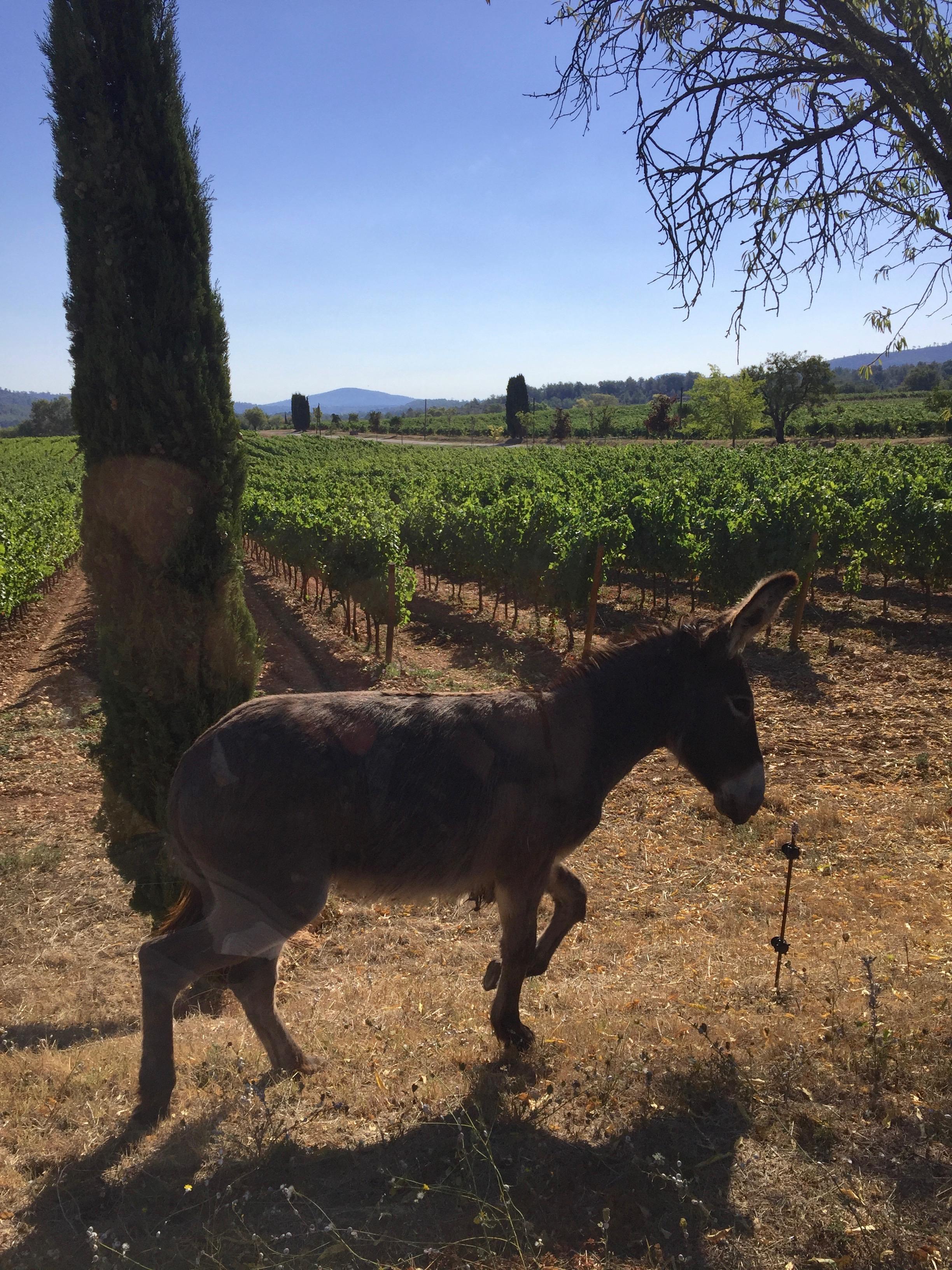 vignelaure vineyard donkey