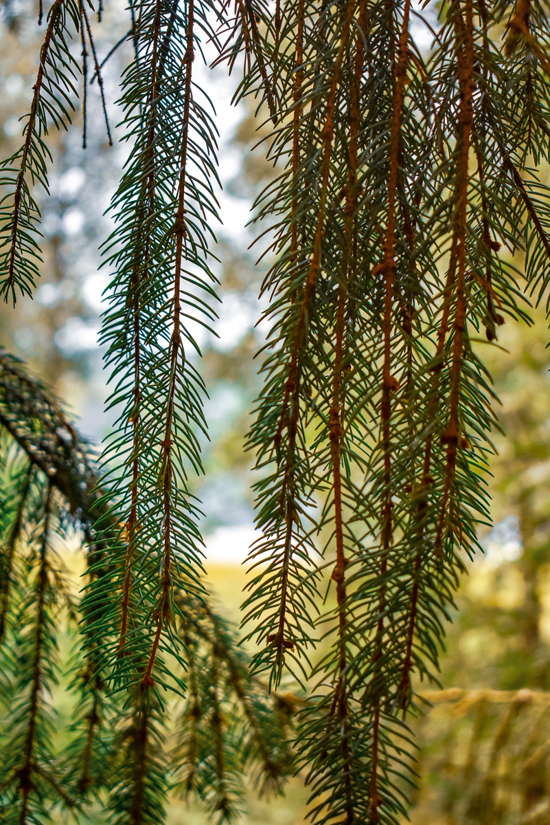 naturbyn sweden varmland nature, pine